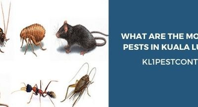 What are the Most Dangerous Pests in Kuala Lumpur Homes?