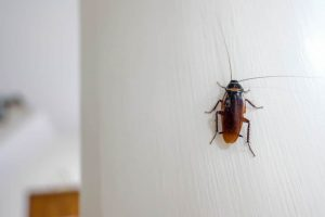 cockroach in house